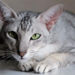 Short Hair Cats And Different Cat Breeds