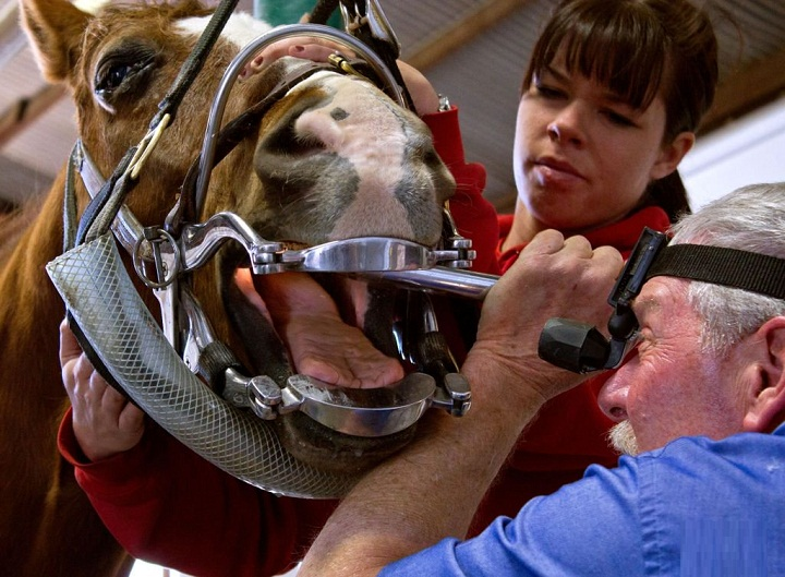 Horse Dentistry – Caring For Your Horse's Teeth