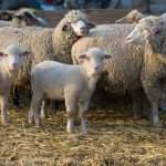 Cleaner Cattle and Sheep for Consumer Safety