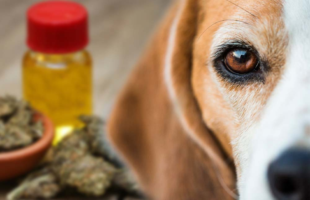 How CBD Oil Affects Dogs