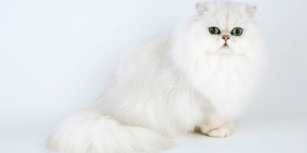 Simple Persian Cats Care Tips