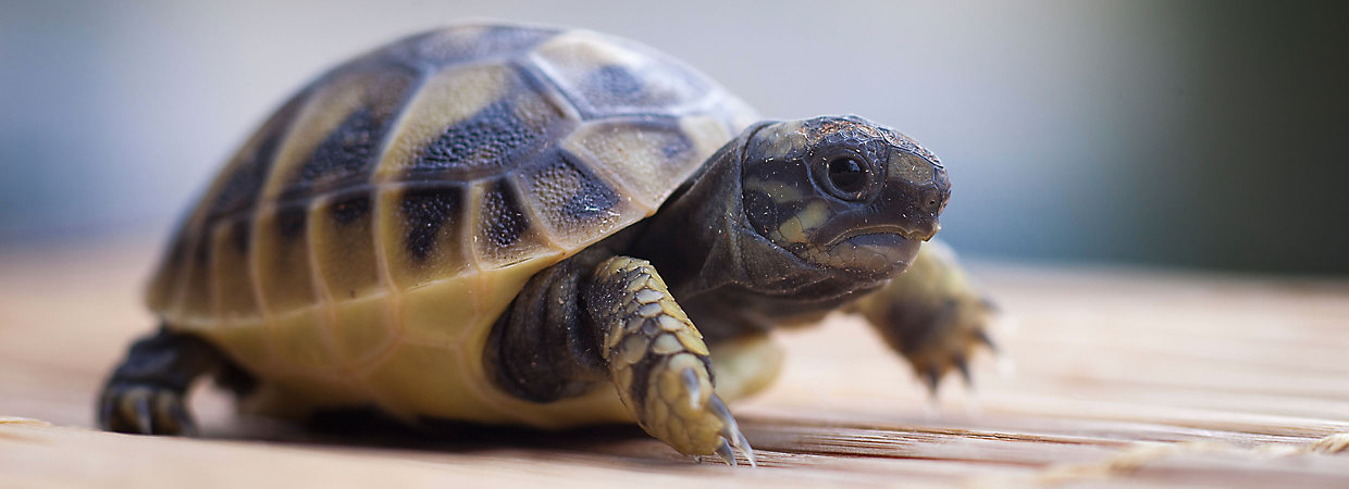 What You Need to Know About Caring for a Tortoise?